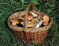 Edible fungi in basket 2016 G1.jpg