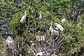 Egretta dimorpha (22007376149).jpg