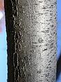 Elaeagnus angustifolia (4970790956).jpg