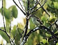 Elaenia ruficeps - Rufous-crowned Elaenia.jpg