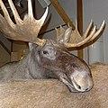 Elk in Alta.JPG