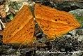 Enispe euthymius (RED CALIPH) 2012 10 09 kamlang WLS (9) (8177780027).jpg