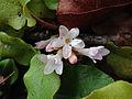 Epigaea repens - Trailing arbutus.jpg