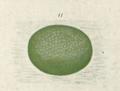 Epiphryne verriculata egg by George Vernon Hudson.png