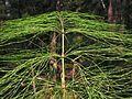 Equisetum sylvaticum20100818 045.jpg