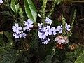 Eranthemum roseum Raan Aboli by Raju Kasambe DSCN3680 (4).jpg