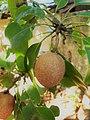 Ericales - Manilkara zapota - 4.jpg