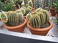 Eriocactus warasii in a garden centre.jpg