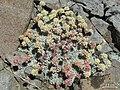 Eriogonum ovalifolium - Flickr - pellaea (1).jpg