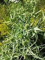 Eryngium campestre sl1.jpg