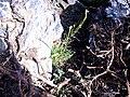 Erysimum nevadense 25July2009 Habitus SierraNevada.jpg