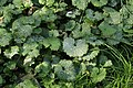 Erysiphe cruciferarum on Alliaria petiolata (45474381652).jpg