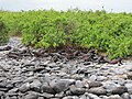 Espanola - Hood - Galapagos Islands - Ecuador (4871543954).jpg