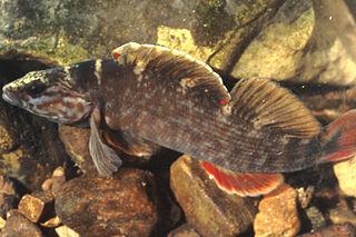 <i>Nothonotus</i> genus of fishes