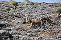 Ethiopian Wolf (16124552747).jpg