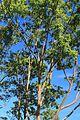 Eucalyptus Deglupta Tree. Dole Plantation, Plantation Rd, Wahiawa - panoramio.jpg