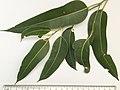 Eucalyptus punctata - adult leaves.jpg