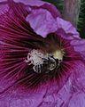 Eucera cinnamomea male on Alcea 3.jpg