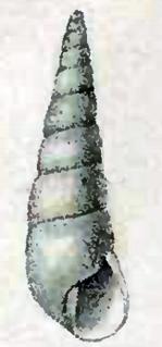 <i>Eulimella acicula</i> species of mollusc