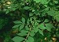 Euonymus alatus 1.jpg