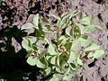 Euphorbia amygdaloides2.jpg