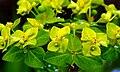 Euphorbia cornigera 'Goldener Turm' - Hohe Wolfsmilch 7305.JPG