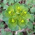Euphorbia helioscopia, Santa Coloma de Farners.jpg