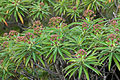 Euphorbia mellifera k4.jpg
