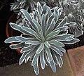 Euphorbiacharacias.jpg