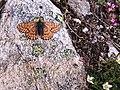 Euphydryas cynthia in Gran Paradiso, Italy.jpg