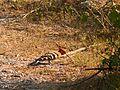 Eurasian Hoopoe - Upupa epops - P1020774.jpg