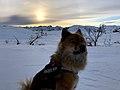 Eurasier in the snow.jpg