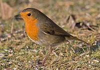 European-Robin.jpg