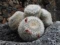 Exemplar presente no Jardín de Cactus de Lanzarote.jpg