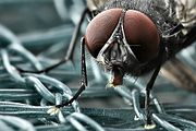 Facettenaugen einer Fliege