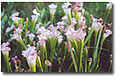 Fairhope-Alabama-Weeks-Bay-NERR-pitcher-plants.jpg