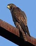Falco peregrinus buono - Christopher Watson.jpg