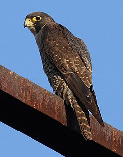Peregrine falcon cosmopolitan species of falconid raptor