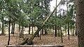 Fallen tree. November 2015. - Поваленное дерево. Ноябрь 2015. - panoramio.jpg
