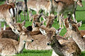 Fallow Deer resting.jpg