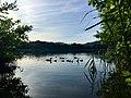 Famiglia di folaghe nel lago di Montorfano.jpg