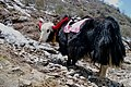 "Fancy a yak ride to the breathtaking Sikkimese scenery of ""NATURE"".jpg"