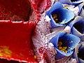 Fascicularia bicolor (hozdiamant) 002.jpg