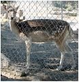 Fawn, Oak Glen, CA.6-23-12 (7449465650).jpg