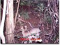 Feral Cat captured by remote camera at Mount Royal National Park.jpg