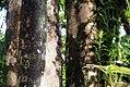 Ficus dammaropsis 2zz.jpg