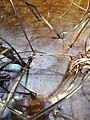 Film bactérien iridescent à la surface de l'eau (3).jpg