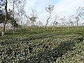 Finlay Tea Plantation - Outside Srimangal - Sylhet Division - Bangladesh (12906693863).jpg