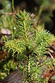 Fir tree (15406259200).jpg