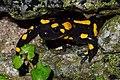 Fire Salamander (Salamandra salamandra) (8655466743).jpg